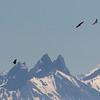 griffon vulture, vale gier