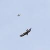 vale gier, torenvalk, griffon vulture,  kestrel