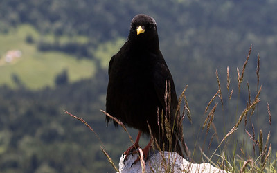 alpenkauw, yellow-billed chough