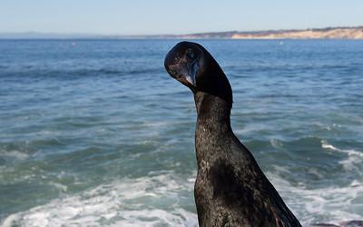 la jolla, brandts cormorant