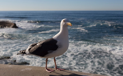 la jolla, western gull