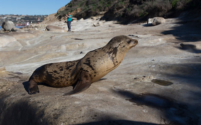 la jolla, sea lion