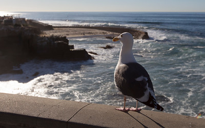 la jolla cove, western gull