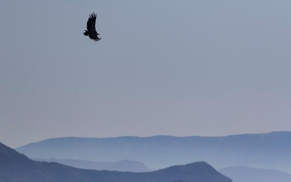 vale gier, griffon vulture