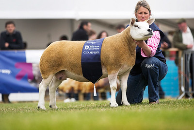 First prize aged ewe and female and overall champion from Procters Farm - PFD1302614