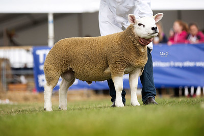 First prize performance recorded ram lamb from David McKerrow- DMN1501002