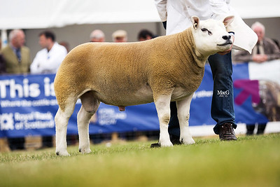 First prize shearling ram from John McKerrow and partners - Cressage Vagabond