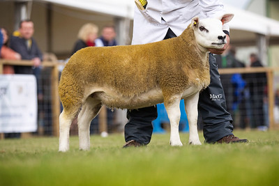 First prize ewe lamb from Clark Farms - CFT1503895