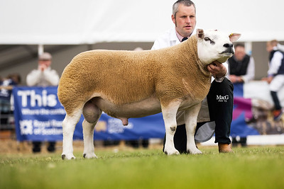 First prize aged tup from Procters Farm - Tophill Union Jack