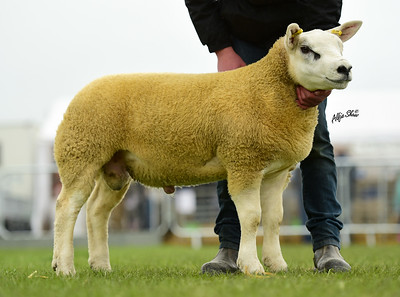 O'Connor first ram lamb