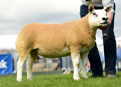 Henry Gamble's reserve champion shearling ewe