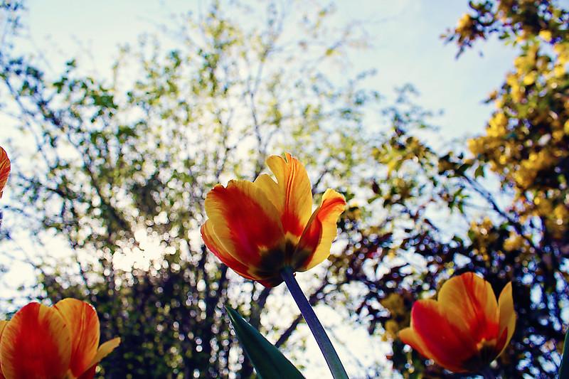 Tulips at Manito....