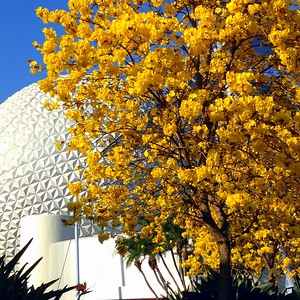 Cheery Yellow Blooms Near Spaceship Earth at the 2015 Epcot International Flower and Garden Festival