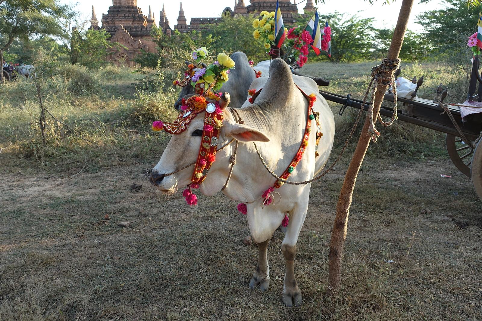 Bagan – Colorful Ox Carts