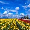 Skagit Valley Tulip Festival by Beautiful Washington