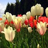 Gorgeous White and Orange Tulips at the Skagit Valley Tulip Festival in Washington State