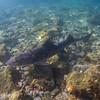 Leopard shark aggregation at Big Fisherman's Cove, Catalina Island