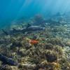 Leopard shark aggregation at Big Fisherman's Cove, Catalina