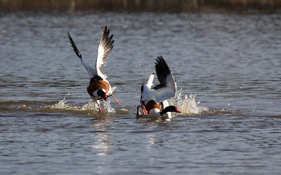 bergeend, shelduck