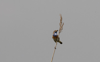 blauwborst, bluethroat