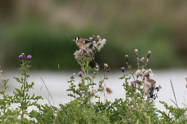 putter, goldfinch