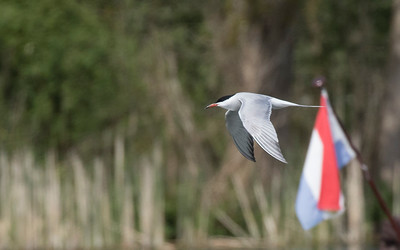 visdiefje, common tern