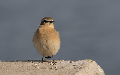 tapuit, northern wheatear