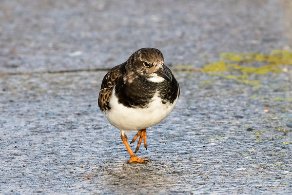 steenloper, turnstone