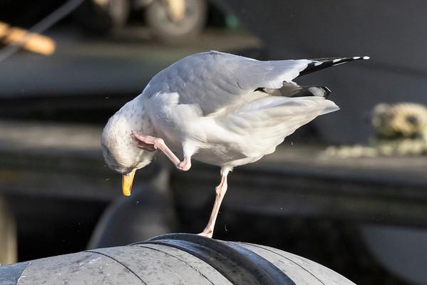 zilvermeeuw, herring gull