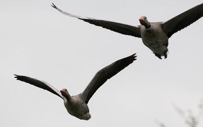 grauwe gans, greylag goose