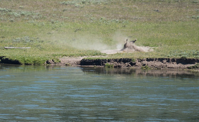 Bison taking a dust bath.