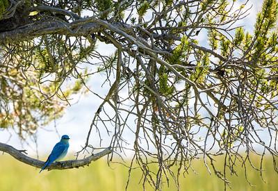 Mountain bluebird. State bird of Idaho!