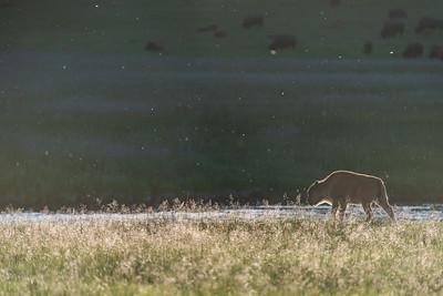 Backlit baby bison