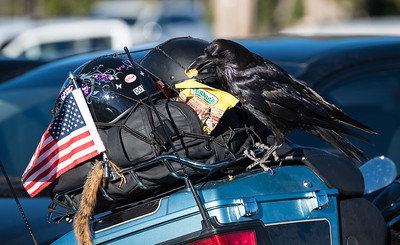 Raven raiding a biker's gear.  The bird unzipped the bag to get at the cookies.