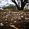 Prunus armeniaca enlever les pétales de