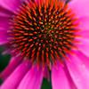 echinacea (coneflower)