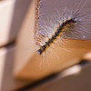 Caterpillar on a precipice. Shot Sep 6 on PEI.