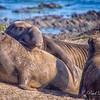 Elephant Seals, Ano Nuevo State Park, Pescadero, CA
