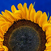 sunflower on cobalt blue
