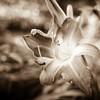 sepia lily