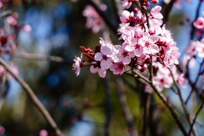 Blossoms on Lake Ginninderra