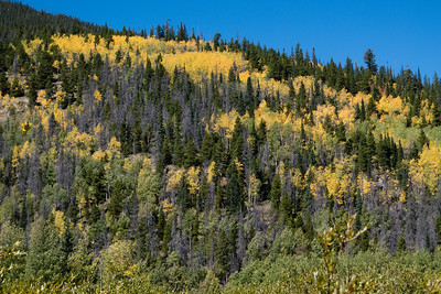 Pines, Dead Pines, and Aspens changing colors in Rocky Mountain National Park