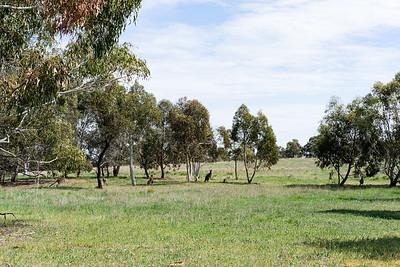 Kangaroos near Lake Ginninderra