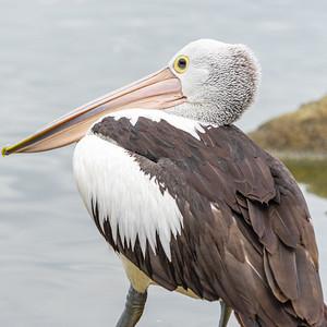 Pelicans on Lake Ginninderra