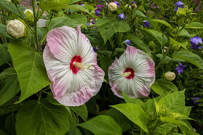 Rose Mallow at Avis Campbell Gardens