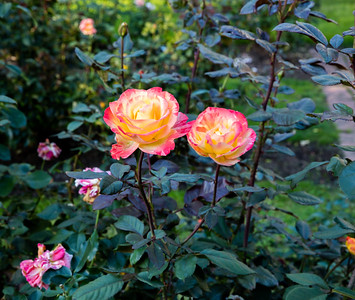 Late Summer Roses