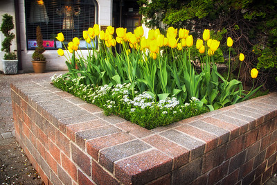 Tulips on Church Street planted by the Garden Club of Montclair