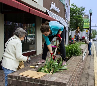 Marie O'Grady, Tawnya Switzerland, Anne Stusnick and Fran Ackerly dig up tulips from Church Street flower beds.