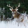Frosty Morning Buck