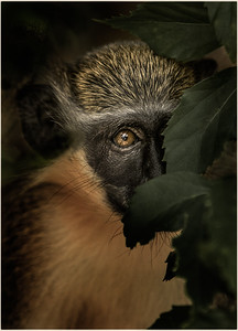 Monkey See Monkey Shy - Award , Honors